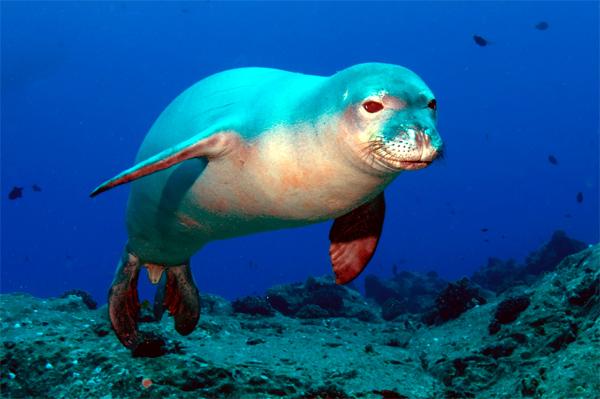 Средиземноморский тюлень-монах, белобрюхий тюлень (Monachus monachus). фото фотография ластоногие животные