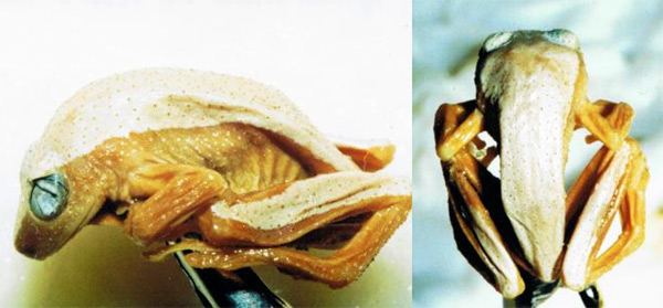Лягушка Megalixalus fornasinii, фото окраска животных фотография картинка амфибии