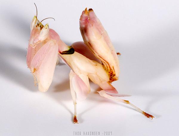 Малазийский цветковый богомол (Hymenopus coronatus), фото насекомые фотография картинка