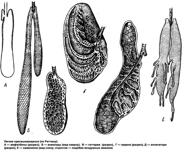 Легкие пресмыкающихся (рептилий), амфисбены, анаконды, гаттерии, варана, хамелеона, рисунок картинка