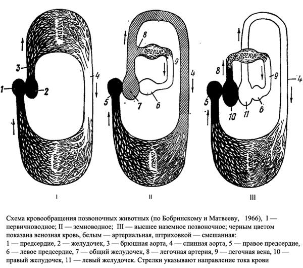 Мощная мускулатура левого