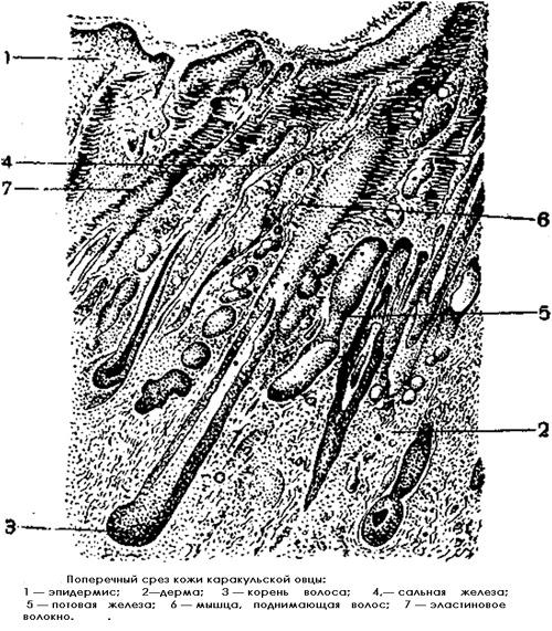 Поперечный срез кожи каракульской овцы, рисунок картинка строение животных