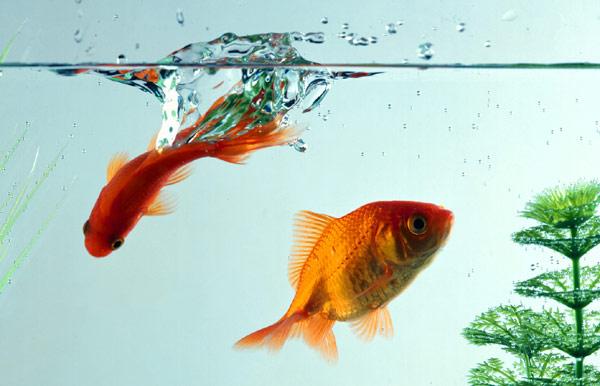 Золотые рыбки в аквариуме, фото аквариумные рыбы фотография картинка