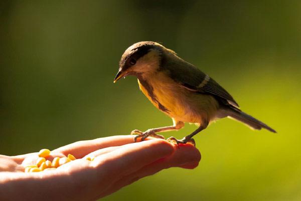 Птица сидит на руке, в которой кукурузные зерна, фото поведение животных фотография картинка