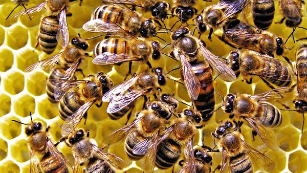 Плечиная матка с пчелами в улье, фото насекомые фотография картинка