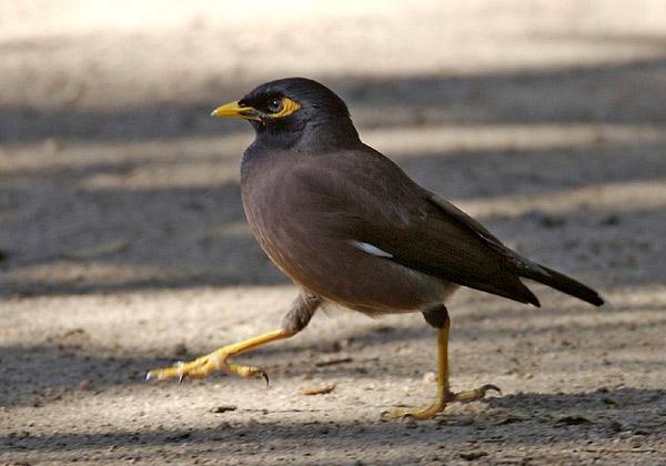 Майна (Acridotheres tristis), фото птицы фотография скворцы картинка