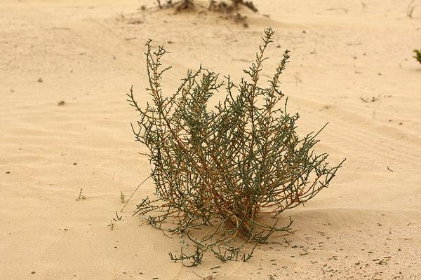 Солянковый саксаул (Haloxylon salicornicum), фото кустарники растения пустынь фотография картинка