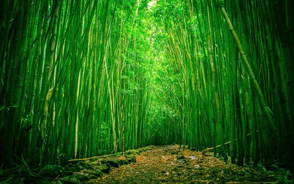 Бамбуковая роща. Фото, фотография картинка растения
