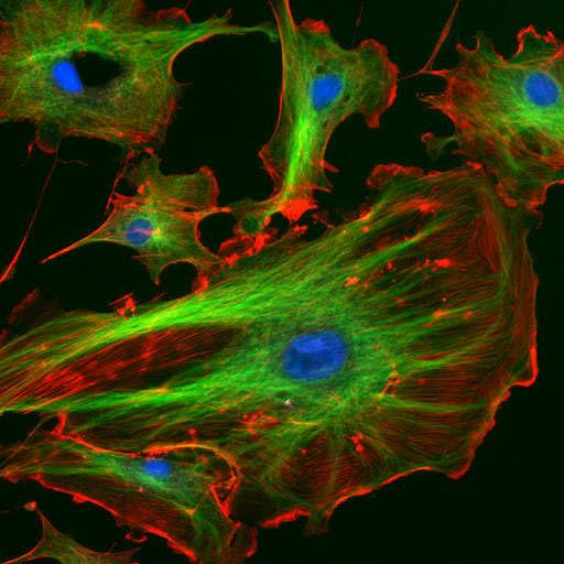 Цитоскелет эукариот. Рисунок картинка