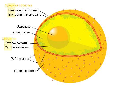 Схема строения клеточного ядра, рисунок картинка схема