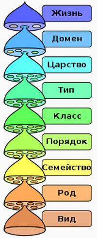 Иерархия биологической систематики восьми основных таксономических рангов, рисунок картинка схема