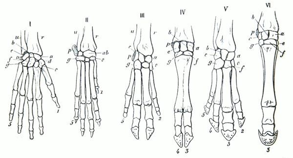 Схема строения скелета кисти с указанием гомологичных костей, рисунок картинка