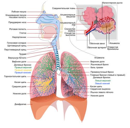 Схема дыхательной системы человека, рисунок картинка