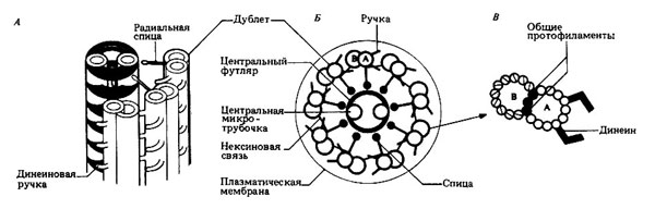 Строение реснички или жгутика, рисунок картинка схема