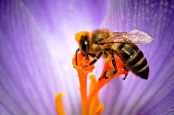 Пчела собирающая нектар. Фото, фотография насекомые
