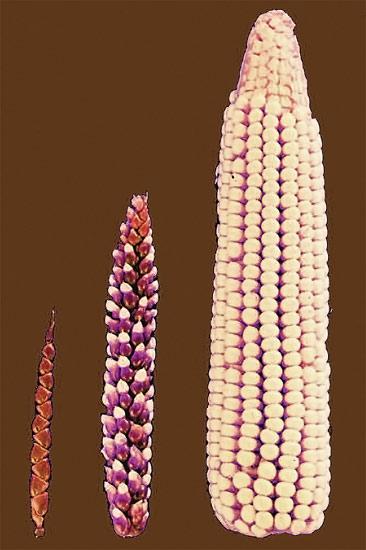 Ряд последовательных стадий выведения культурной кукурузы из дикорастущих предков, фотография фото