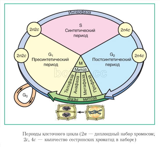 Периоды клеточного цикла, рисунок картинка схема