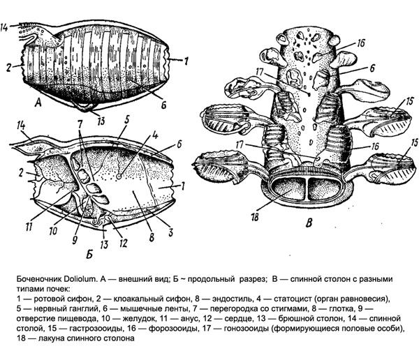 Боченочник Doliolum. Внешний вид. Рисунок картинка животные