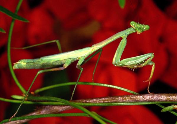 Богомол (Mantis religiosa), фото насекомые фотография картинка