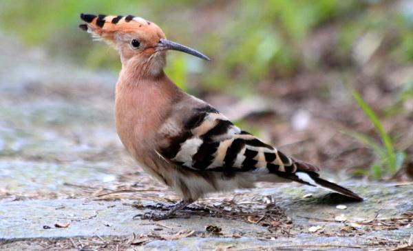 Удод (Upupa epops), фото птицы фотография картинка