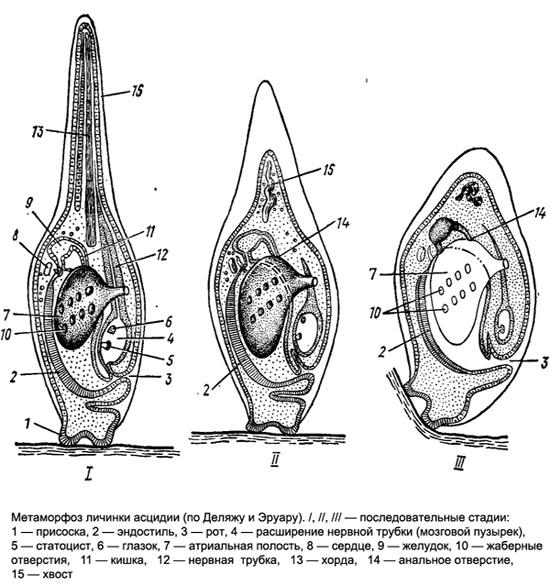 Метаморфоз личинки асцидии, рисунок картинка изображение