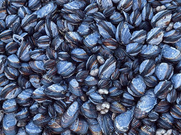Морские животные мясо которых ядовито фото ядовитые моллюски  Морские животные мясо которых ядовито