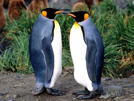 Королевские пингвины (Aptenodytes patagonicus), фото птицы фотография картирка
