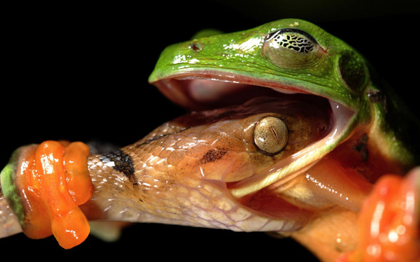 Змея заглатывает пойманную лягушку, фото амфибии фотография земноводные