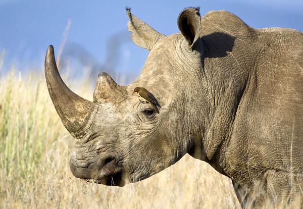 Птица чистит носорога, фото птицы фотография картинка