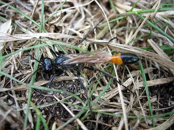Оса-наездница (Ammophila sabulosa), фото насекомые фотография картинка
