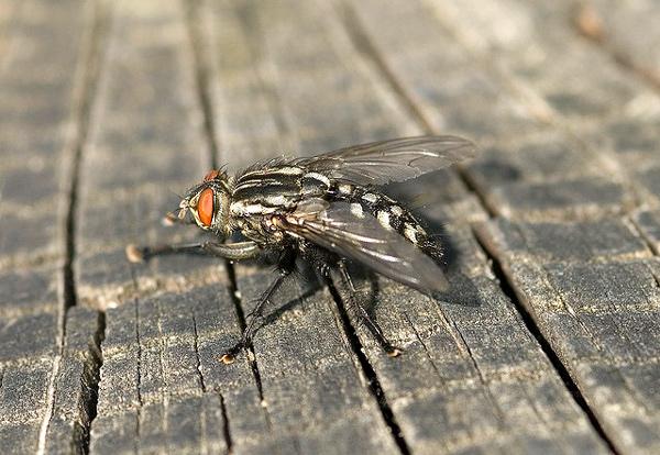 Мясная муха (Sarcophaga carnaria), фото насекомые фотография картинка