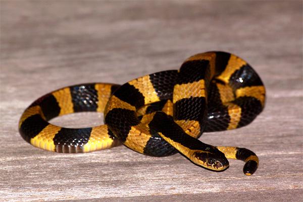 Ленточный крайт (Bungarus fasciatus), фото змеи рептилии фотография картинка