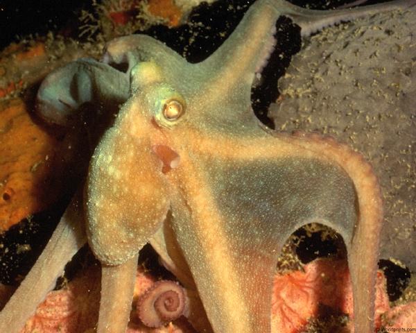Спрут, осьминог, фото беспозвоночные животные фотография