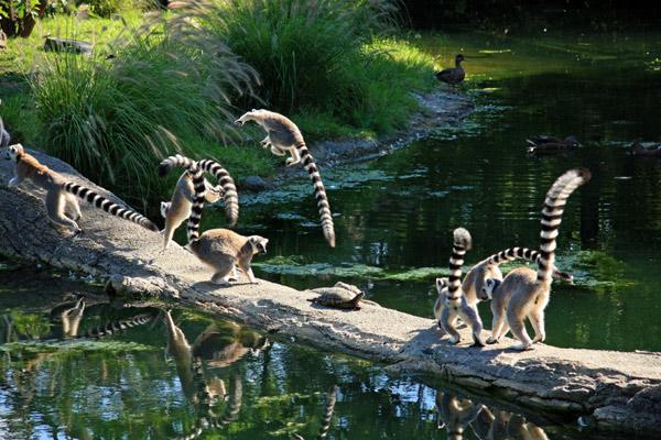 Кольцехвостые лемуры, или кошачьи лемуры, или катта (Lemur catta), фото приматы фотография картинка