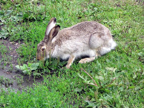 Американский заяц (Lepus americanus), фото зайцеобразные животные фотография картинка