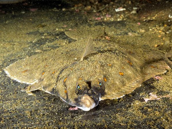 Морская камбала (Pleuronectes platessa), фото рыбы фотография картинка