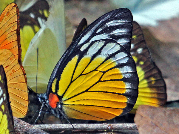 Бабочка (Prioneris clemanthe), фото чешуекрылые фотография картинка