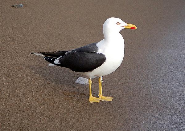 Клуша (Larus fuscus), фото птицы фотография картинка