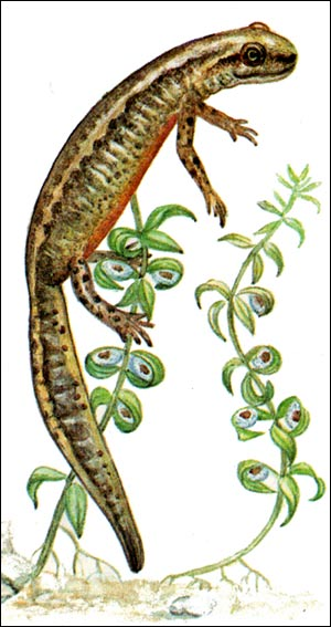 Карпатский тритон (Triturus montandoni) - самка, откладывает икру