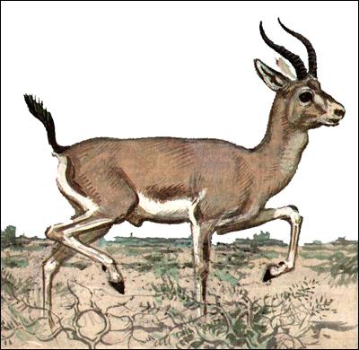 Джейран (Gazella subgutturosa). Рисунок, картинка копытные животные