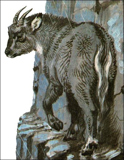 Горал (Nemorhaedus caudatus). Картинка, рисунок копытные животные