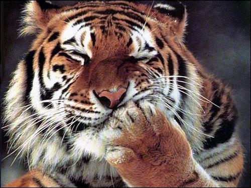 Тигр. Фото, фотография картинка дикие звери