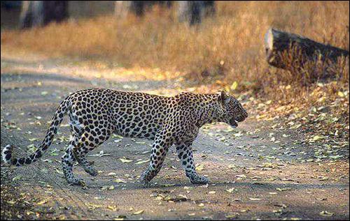 Леопард (Panthera pardus). Фото, фотография картинка хищные животные