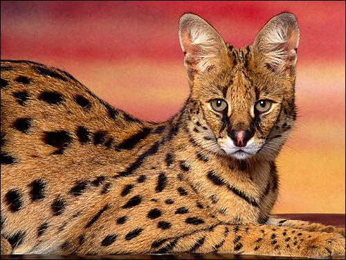 Сервал, кустарниковая кошка (Felis serval). Фото, фотография картинка дикие звери