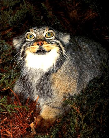 Манул (Felis manul). Фото, фотография картинка хищные кошки