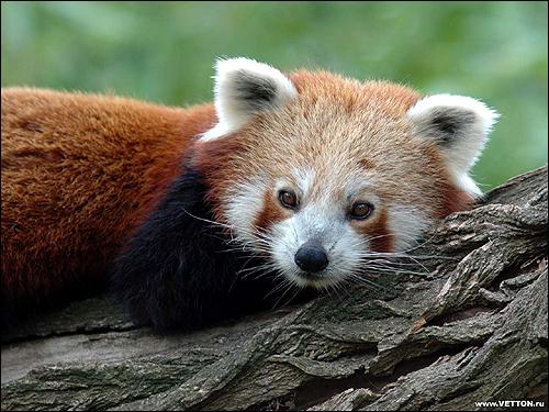 Малая панда, красная панда (Ailurus fulgens). Фото, фотография картинки дикие звери