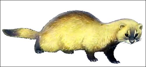 Степной хорек (Mustela eversmanni). Рисунок, картинка хищные животные