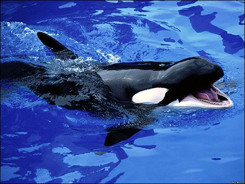 Косатка, кит убийца (Orcinus orca). Фото, фотография картинка китообразные животные