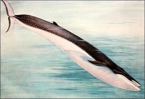 Финвал (Balaenoptera physalus). Рисунок, картинка киты