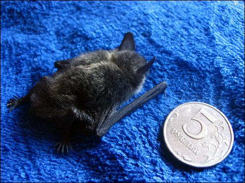 Маленькая летучая мышка. Фото, фотография картинка рукокрылые животные